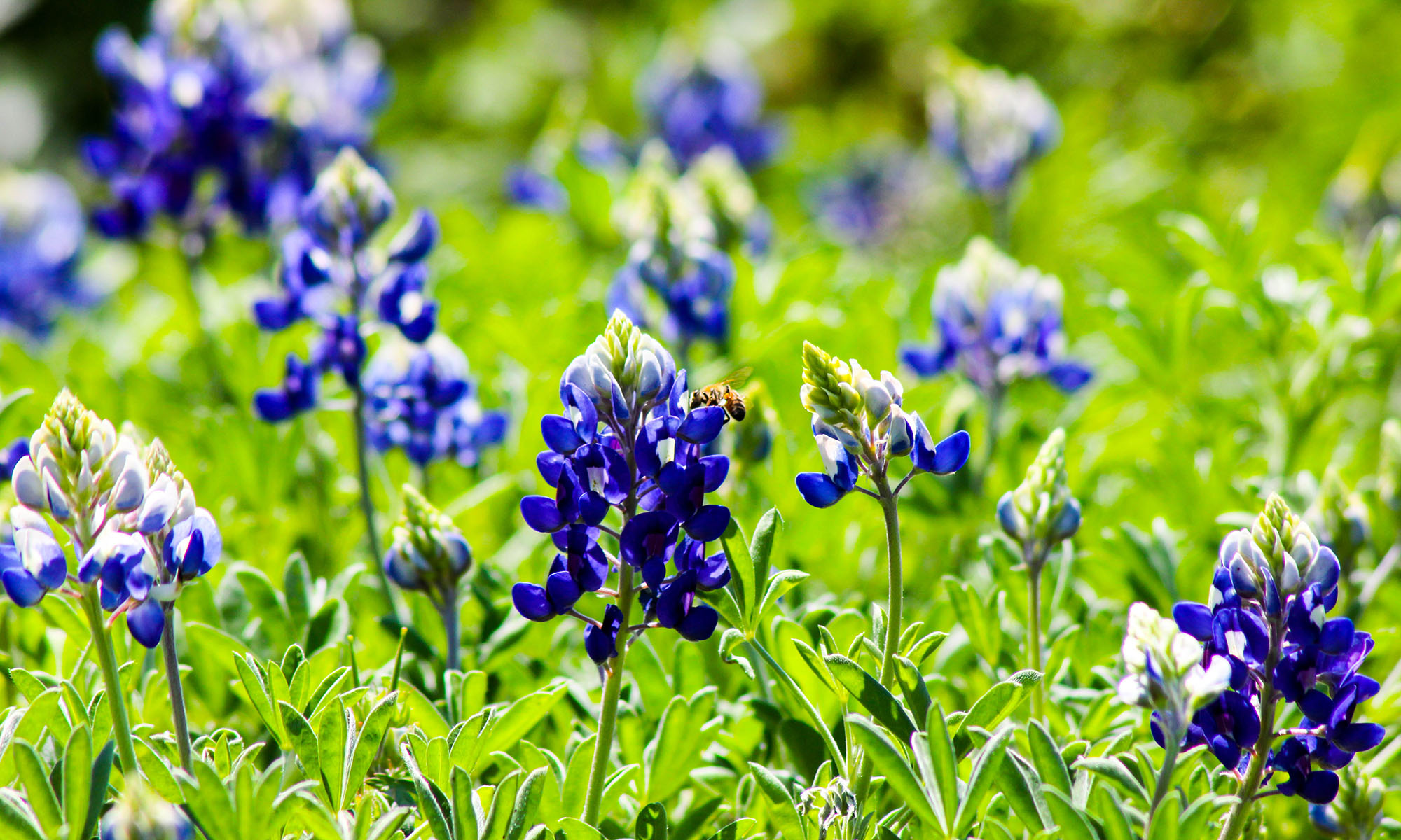 NATIVE PLANT SOCIETY OF TEXAS – CLEAR LAKE CHAPTER