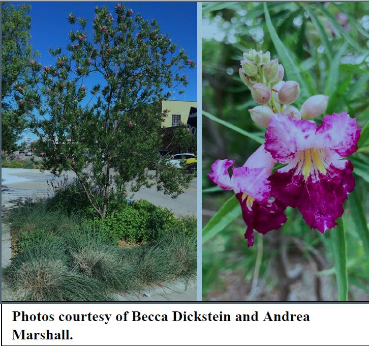Desert Willow Chilopsis Linearis Small Tree With Showy Flowers