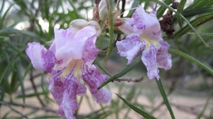 The lovely, orchid-like bloom of the desert willow, a lovely tree that is home in the most northern reaches of the Chihuahuan Desert.
