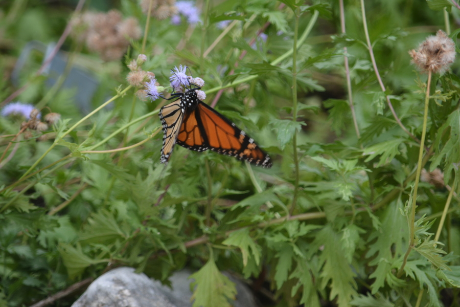 Gregg's Mistflower (Conoclinium greggii) & Monarch Butterfly